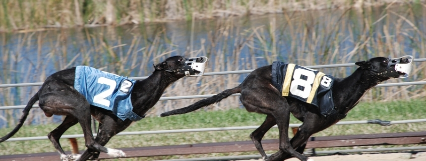greyhound betting system