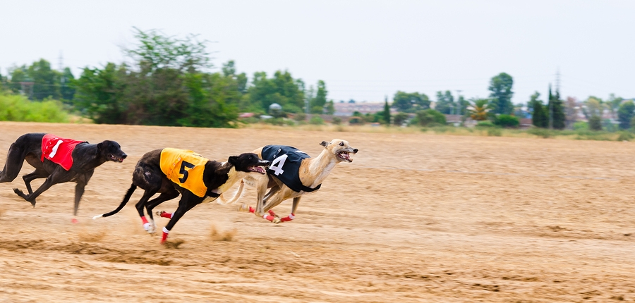 two trap greyhound betting system